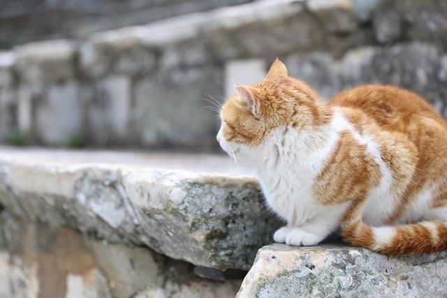 Cat ginger ruins, animals.