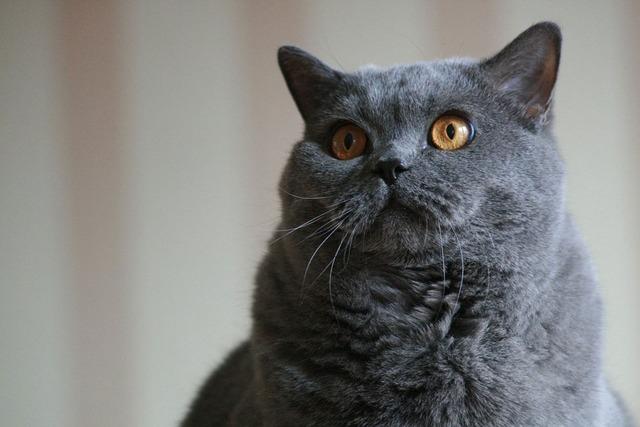 Cat gray blue, animals.