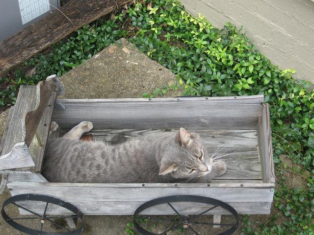 Cat gray wagon, animals.