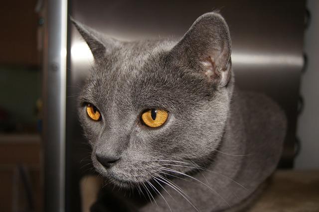 Cat grey domestic cat, animals.