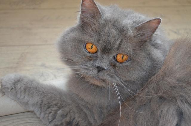 Cat highlander british, animals.