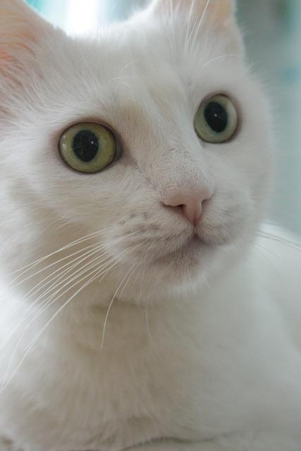 Cat home a cat white cat, animals.