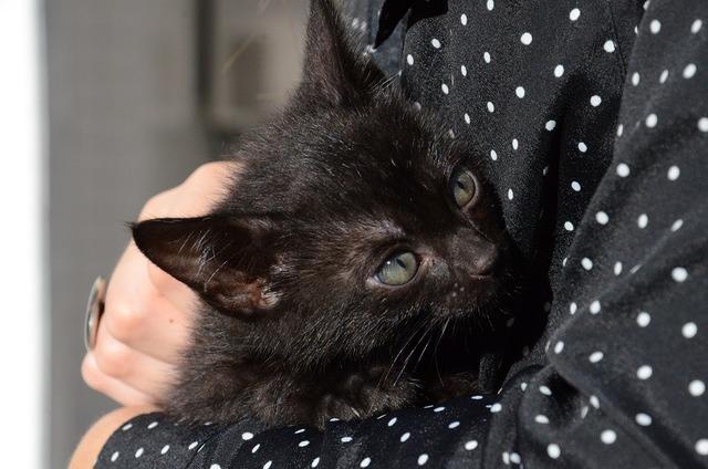 Cat kitten black cat, animals.