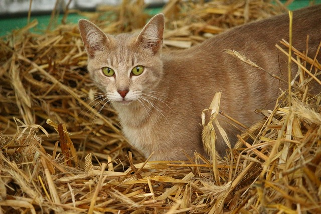 Cat kitten breed cat, animals.