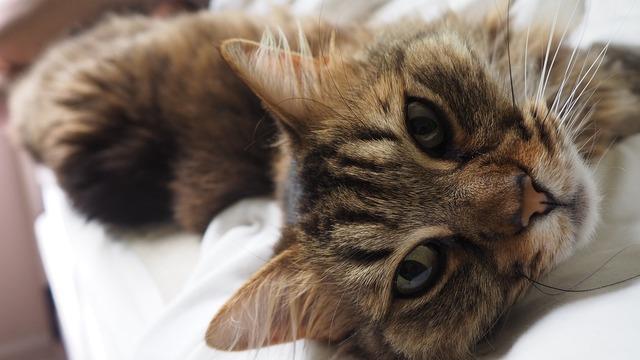 Cat kitten feline, animals.
