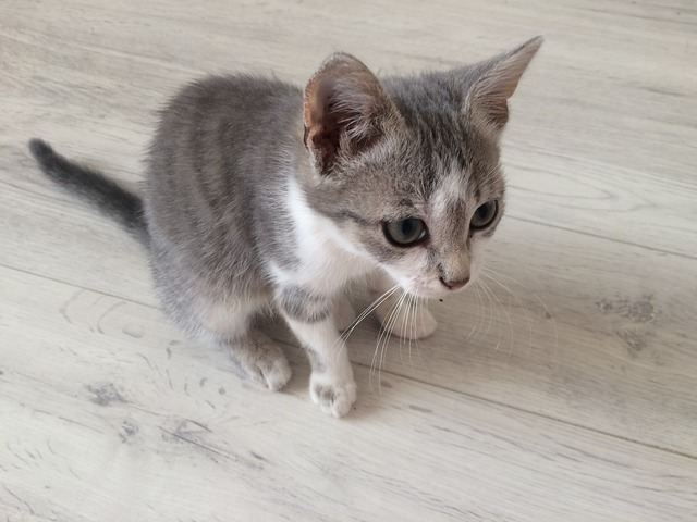 Cat kitten pet, animals.