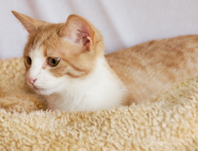 Cat kitten red, animals.