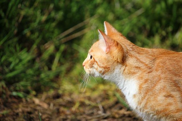 Cat kitten red cat, animals.