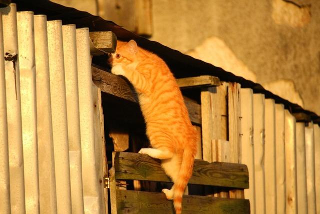 Cat kitten red mackerel tabby, animals.