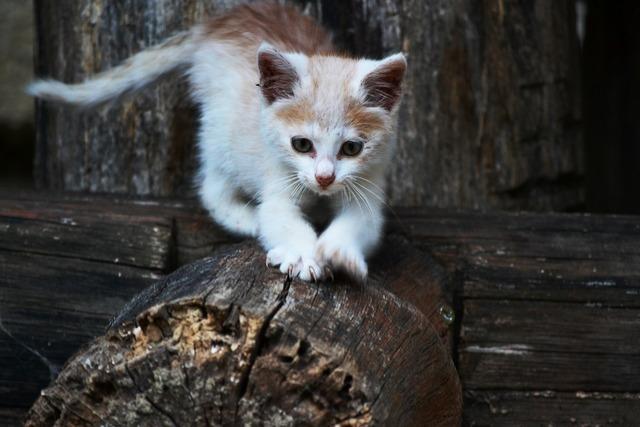 Cat kitten small, animals.