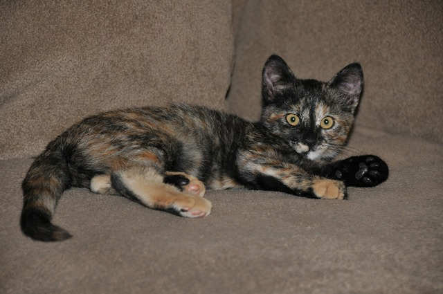 Cat kitten tortoiseshell, animals.
