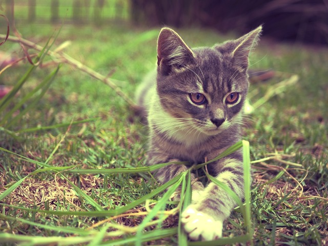 Cat kitten vintage, animals.