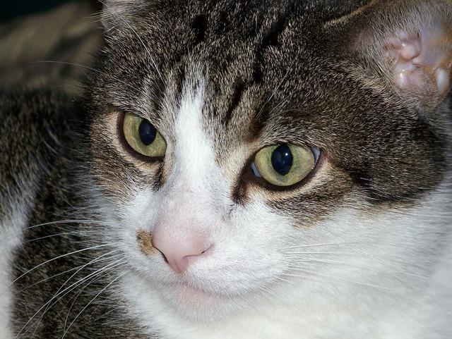 Cat kitty feline, animals.
