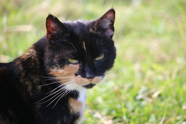 Cat lucky cat mieze, animals.