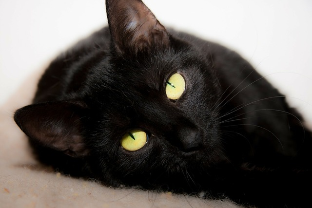Cat lying black, animals.