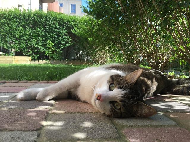 Cat lying domestic animal cat eyes, animals.