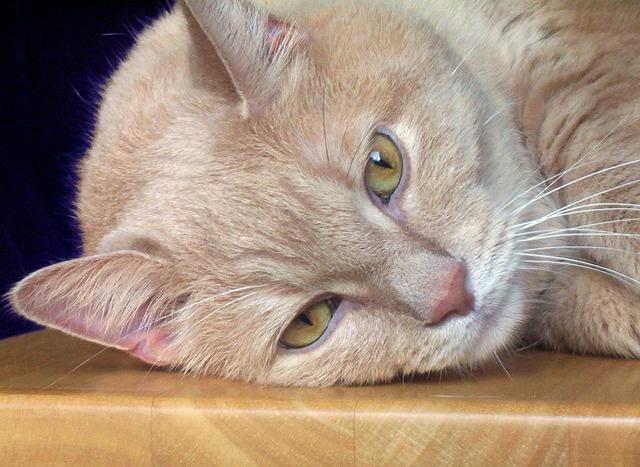 Cat lying feline, animals.