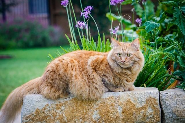 Cat maine coon cat cute, animals.