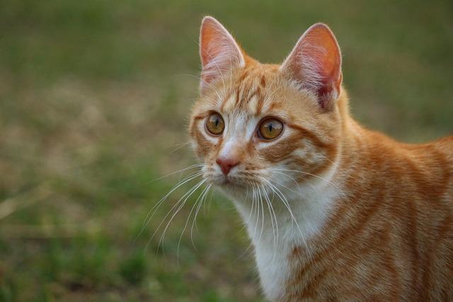 Cat mieze kitten, animals.