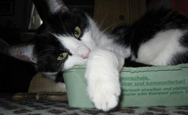 Cat mieze pet, animals.