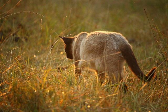 Cat mieze siamese cat, animals.