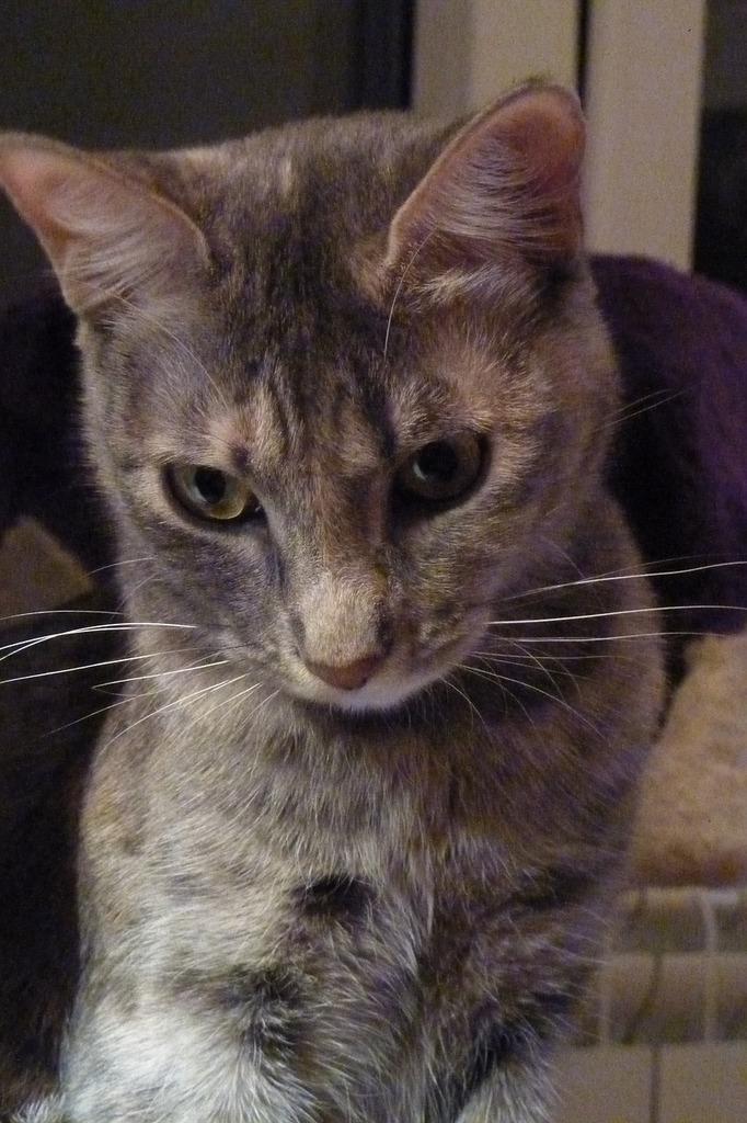 Cat muzzle cat feline, animals.