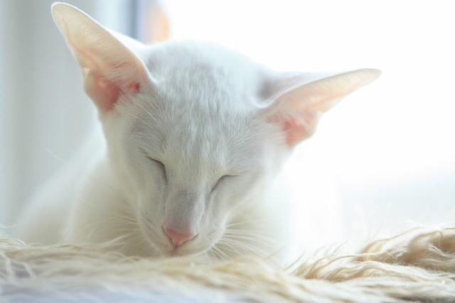 Cat oriental white, animals.