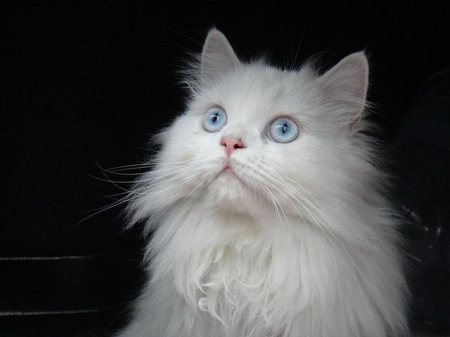 Cat persian white, animals.