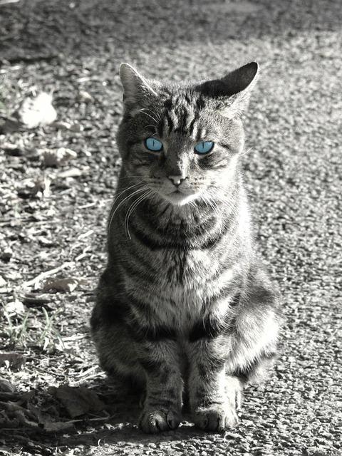 Cat pet black, animals.