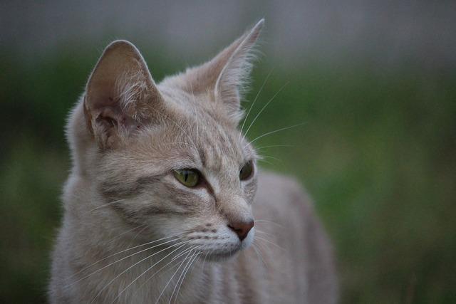 Cat pet cat face, animals.