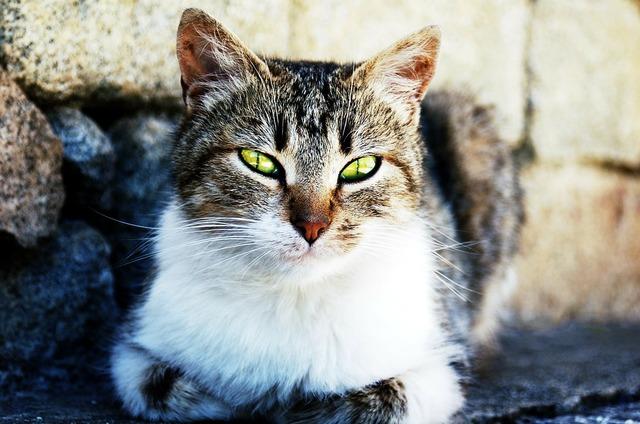 Cat pet cat's eyes, animals.