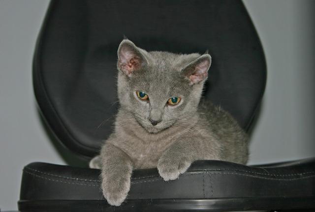 Cat pet domestic, animals.