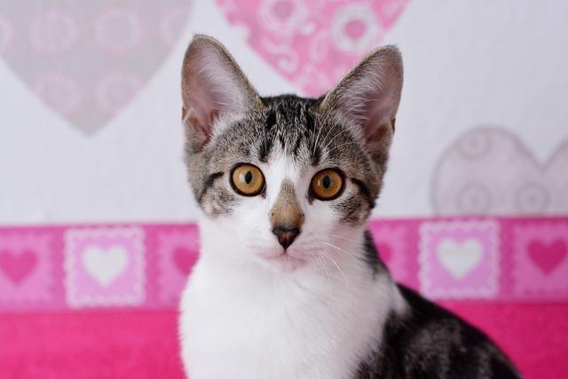 Cat pet domestic cat, animals.