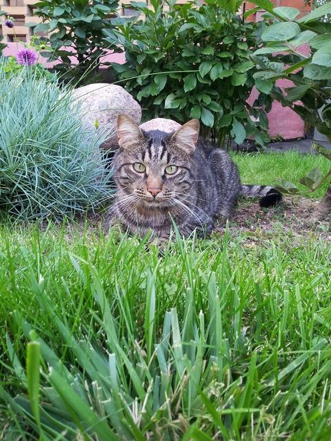 Cat pet eyes, animals.