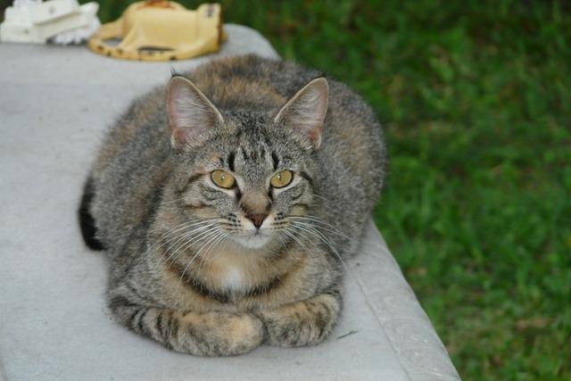 Cat pet feline, animals.