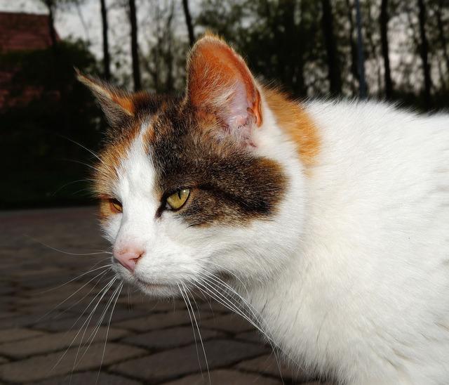 Cat pet female, animals.