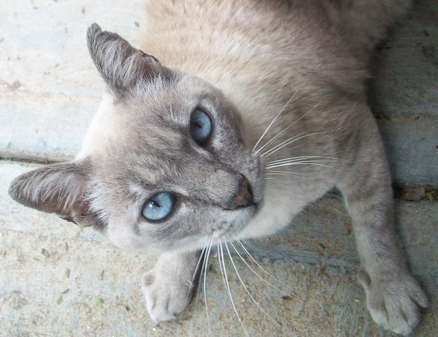 Cat pet kitten, animals.
