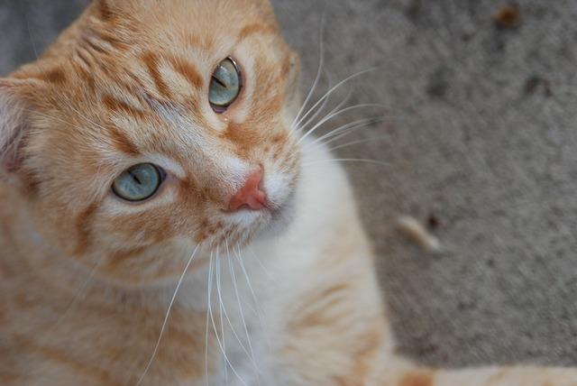 Cat pet orange tabby, animals.