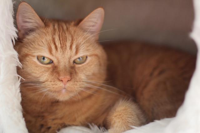 Cat pet red, animals.