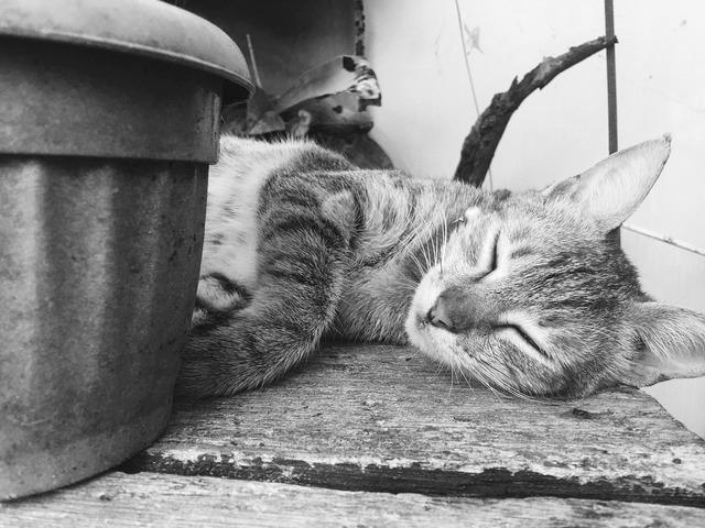 Cat pet sleeping, animals.