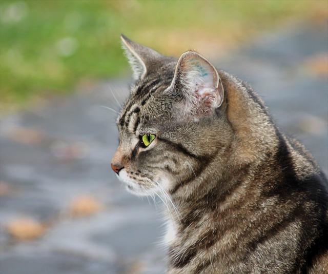 Cat pets livestock, animals.