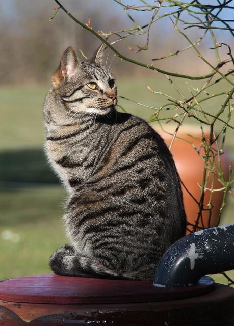 Cat pets striped cat, animals.