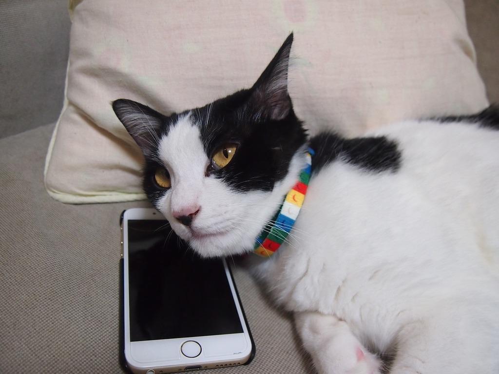 Cat phone sleep, animals.