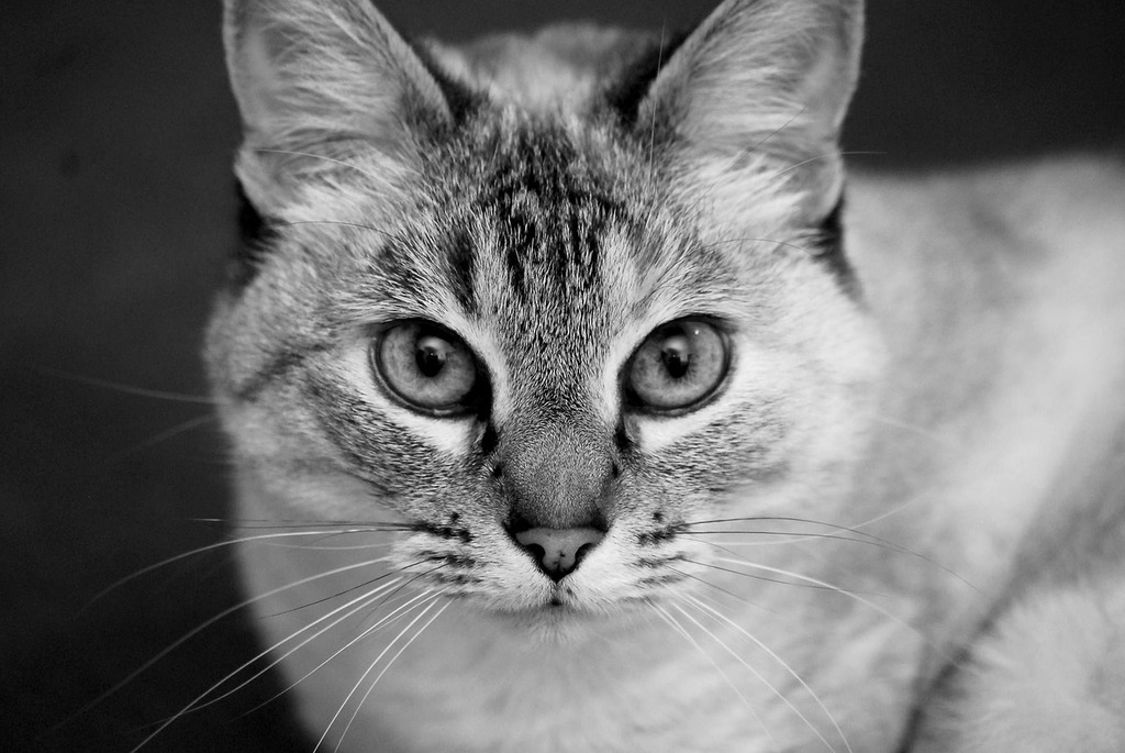 Cat portrait black and white, animals.