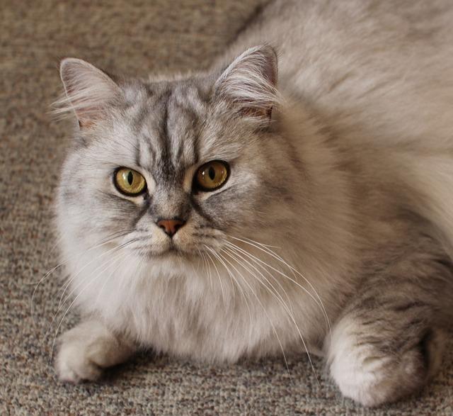 Cat portrait cat face, animals.