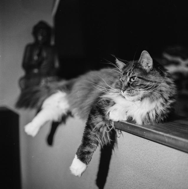 Cat posing lying, animals.