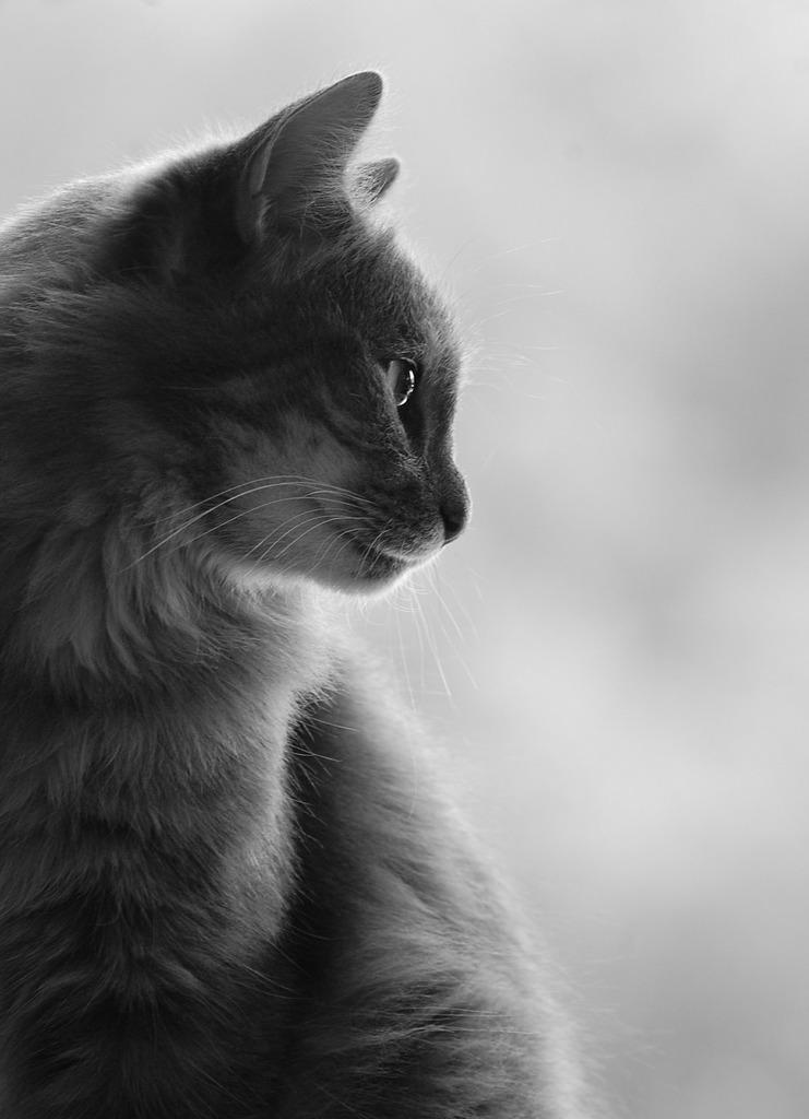 Cat profile silhouette, animals.