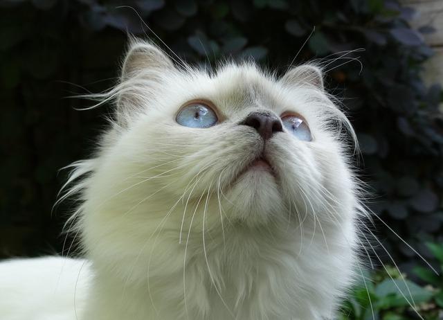 Cat ragdoll breed of cat, animals.