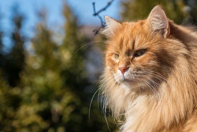 Cat red hair, animals.
