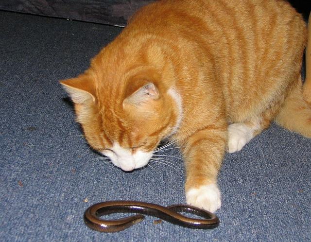 Cat red mackerel, animals.